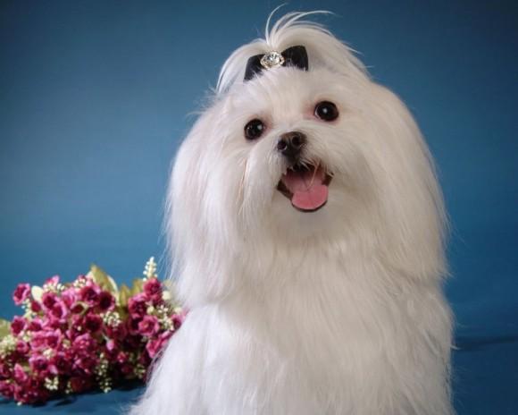 Ανεμογκάστρι Ή Ψευδοκύηση Του Σκύλου