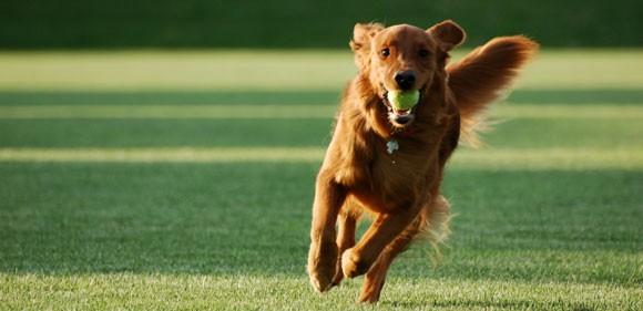 Δυσπλασία Του Ισχίου Στο Σκύλο