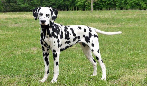 Κομμένη Όρεξη Σκύλου