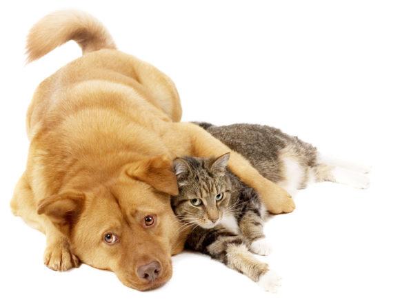 Κύστες Μεσοδακτυλίου Σκύλου Και Γάτας