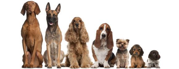 Από τι εξαρτάται το μέγεθος των σκύλων;
